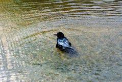 Roestige merel in het Nationale Park van Everglades, Florida, de V.S. royalty-vrije stock afbeeldingen