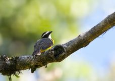 Roestvleugeltiran, Rusty-margined Flycatcher, Myiozetetes cayanensis royalty free stock photos
