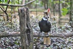 Rofous hornbill Arkivbilder