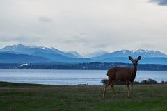 Rogacz na trawa gazonie przed górami i wodą Obrazy Royalty Free