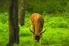 Rogacz Obwąchuje wokoło lasu Obrazy Stock