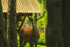 Rogacz Obwąchuje wokoło lasu Obraz Royalty Free