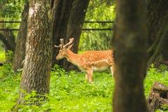 Rogacz Obwąchuje wokoło lasu Zdjęcia Royalty Free