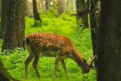 Rogacz Obwąchuje wokoło lasu Zdjęcia Stock