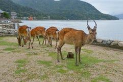 Rogacz Przy Miyajima wyspą Japonia obraz stock