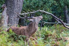 Rogacz Richmond park Obraz Royalty Free