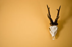 Rogacz uzbrajać w rogi trofeum na ścianie Fotografia Royalty Free