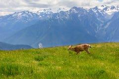 Rogacz w łące w górach, Olimpijski park narodowy, Waszyngton, usa zdjęcia stock