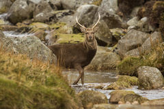 Rogacz w Glendalough Obraz Royalty Free