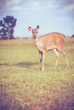 Rogacz w lat lasowych zwierzętach w naturalnym środowisku winieta Obrazy Stock