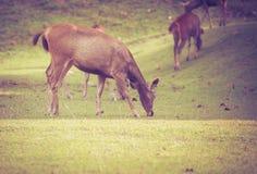 Rogacz w lat lasowych zwierzętach w naturalnym środowisku winieta Zdjęcie Royalty Free