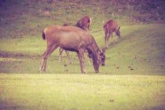 Rogacz w lat lasowych zwierzętach w naturalnym środowisku winieta Obraz Royalty Free