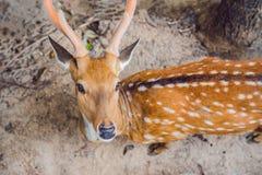 Rogacz w lecie w lesie obrazy royalty free
