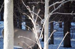 Rogacz w lesie za drzewami Obrazy Stock