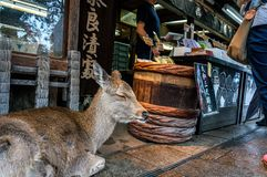 Rogacz w Nara, Japonia Fotografia Royalty Free