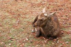 Rogacz w Nara parku Zdjęcia Royalty Free