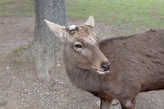 rogacz w Nara parku, Nara Japonia zdjęcia stock