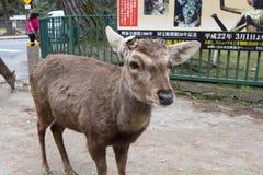 rogacz w Nara parku, Nara Japonia obrazy royalty free