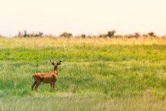 Rogacz w polu przy wschodu słońca zmierzchem Obrazy Royalty Free
