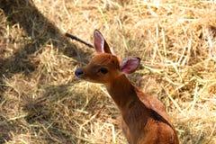 Rogacz w Tajlandia zoo, przyrody ochronie, zwierzęciu i naturze, obrazy royalty free