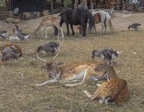 Rogacze, koniki, kózki, pawie i gąski, Dzikie zwierzęta żyje wraz z wolnym dostępem zaludniać Hadjidimovo, Bulgaria obrazy stock
