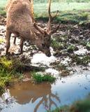 Rogacze lub jeleń z Łamanymi poroże Spragnionymi i Piją Świeżą Błotnistą wodę Przy rzeki stroną zdjęcie stock