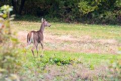 Rogacze opuszcza pole w Sussex zdjęcie royalty free