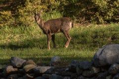 Rogacze przy g??wnym wej?ciem Ordesa y Monteperdido park narodowy w Huesca, Aragon, Hiszpania zdjęcia stock
