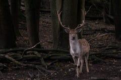 Rogacze w lesie Fotografia Stock