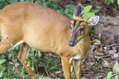 Rogacze w lesie Khao Yai park narodowy Obrazy Royalty Free