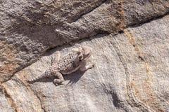 rogata jaszczurka pustyni Zdjęcie Royalty Free