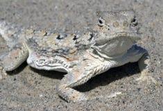 rogata jaszczurka pustyni zdjęcie stock
