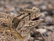 rogata jaszczurka, Texas Obraz Stock