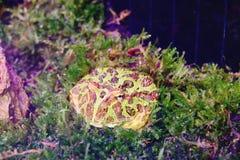 Rogaty żab ceratophrys ornat w nadwodnej roślinie zamkniętej w górę zdjęcia royalty free