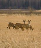 Rogen deers auf dem Gebiet Stockfoto