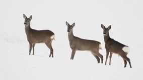 Rogenrotwild auf dem schneebedeckten Gebiet Lizenzfreies Stockfoto