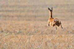 Rogenrotwild, die über Feld laufen Lizenzfreies Stockfoto