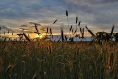 Rogge die oren op de zonsondergang vormen Royalty-vrije Stock Afbeeldingen
