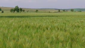 Rogge, roggegebied, auto, weg, tarwegebied, zaad, drijfauto's, groene landbouw, gebied, achtergrond, oor van tarwe, het groeien v stock videobeelden