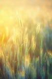 Roggegebied in gouden zonneschijn Stock Afbeelding