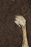 Roggeoor op achtergrondgrond Oogst graan en oor op bruine achtergrond royalty-vrije stock afbeelding