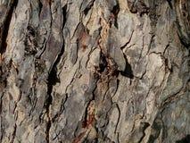 Roguh för trädtexturbrunt Arkivbild