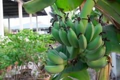 Rohe Banane wird noch nicht völlig angebaut Lizenzfreie Stockfotos