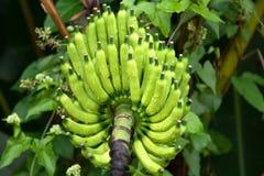 Rohe Bananen Stockfotografie