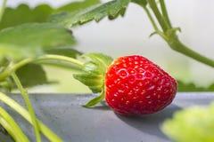 Rohe Erdbeere Lizenzfreies Stockbild