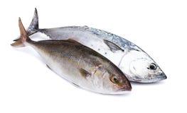 Rohe Fische, Blaufisch und Gelbschwänze, lokalisiert auf Weiß Stockbild