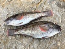 Rohe Fische ` vieja ` Stockfotos