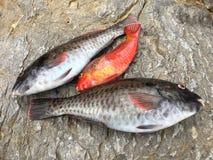 Rohe Fische ` vieja ` Lizenzfreie Stockfotografie