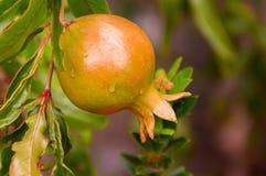 Rohe Granatapfelfrucht stockfotos