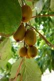 Rohe Kiwi auf Baum lizenzfreie stockfotografie